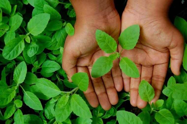 para qué sirve la albahaca hojas