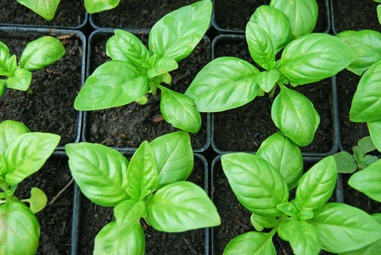 para qué sirve la albahaca plantas