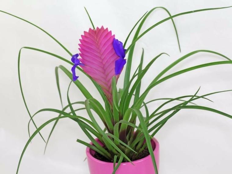 plantas aromaticas-interiores-tillandsia