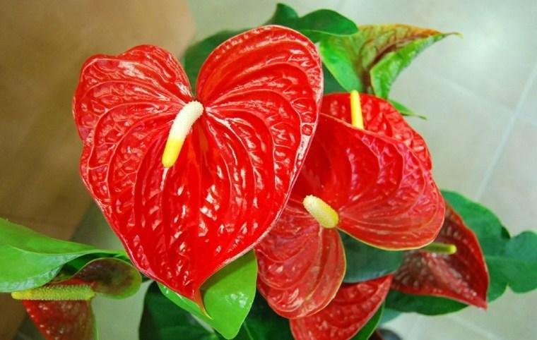 plantas de interiores-anturio-rojo