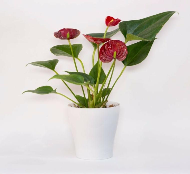 plantas de interiores-bonitas-anturio