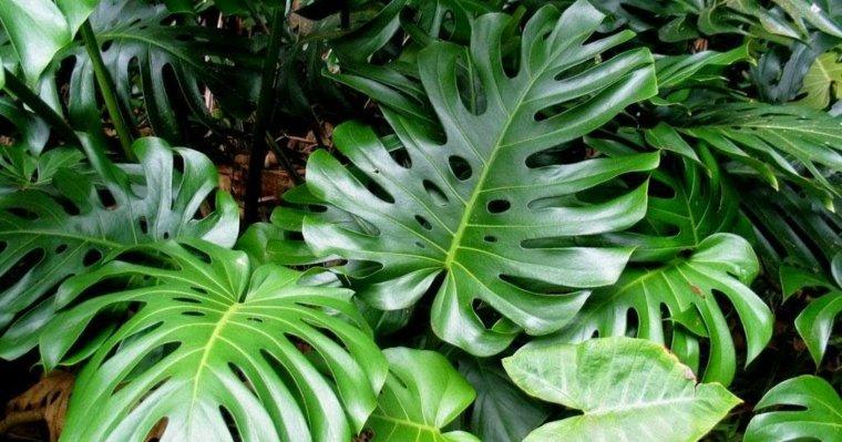 plantas de interiores-bonitas-costilla-de-adan