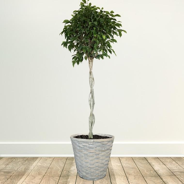 plantas de interiores-bonitas-ficus-benjamina