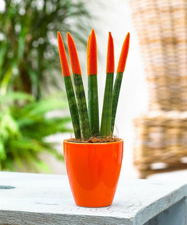 plantas de interiores-bonitas-sansevieria