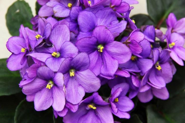 plantas de interiores-bonitas-violeta-africana