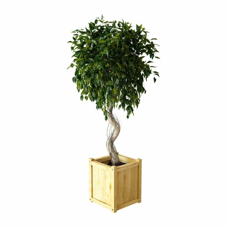 plantas de interiores-ficus-benjamina