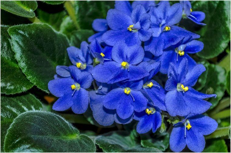 plantas de interiores-resistentes-violeta-africana