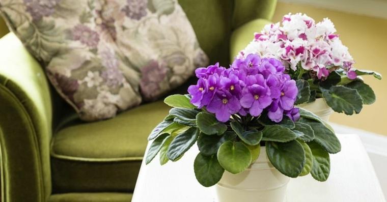 plantas de interiores-violeta-africana