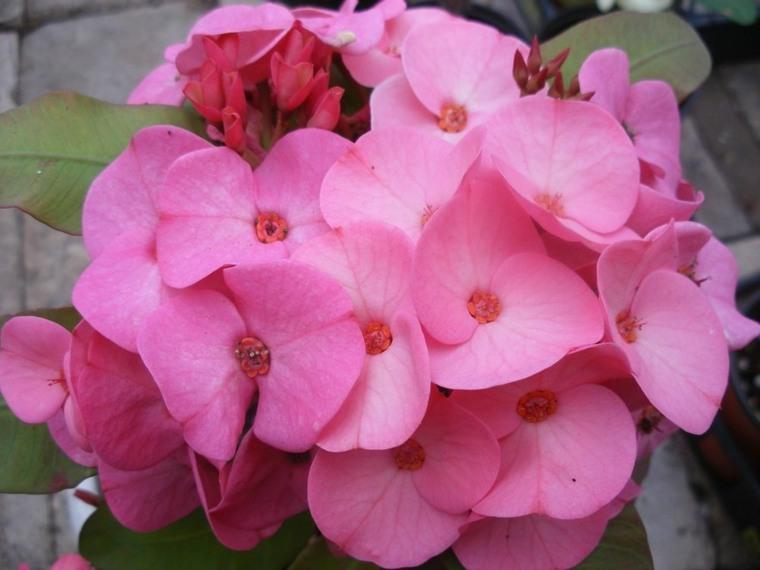 plantas suculentas-espina-de-cristo