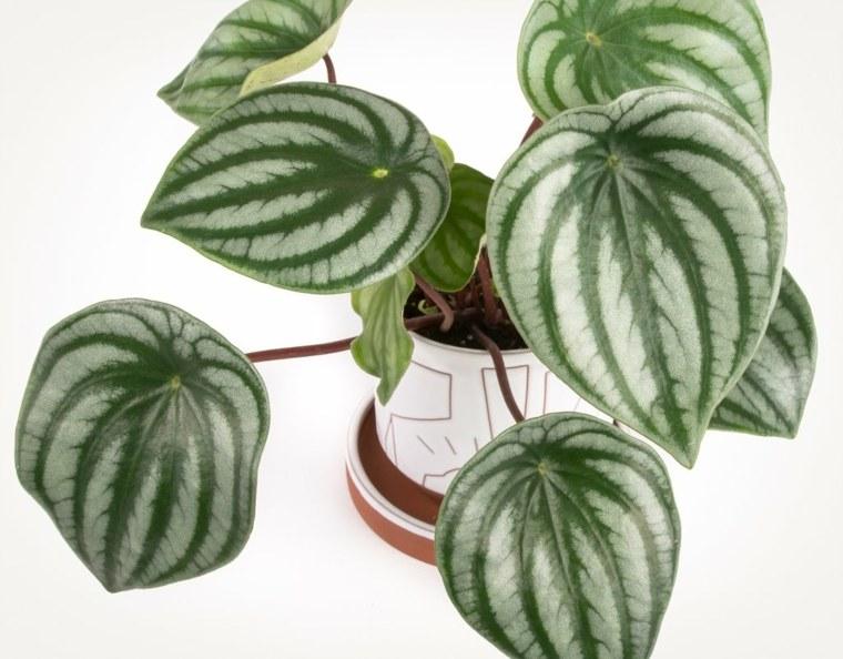 planta suculentas-interiores-peperomina
