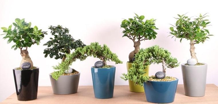 variantes-plantas-bonsai-japones
