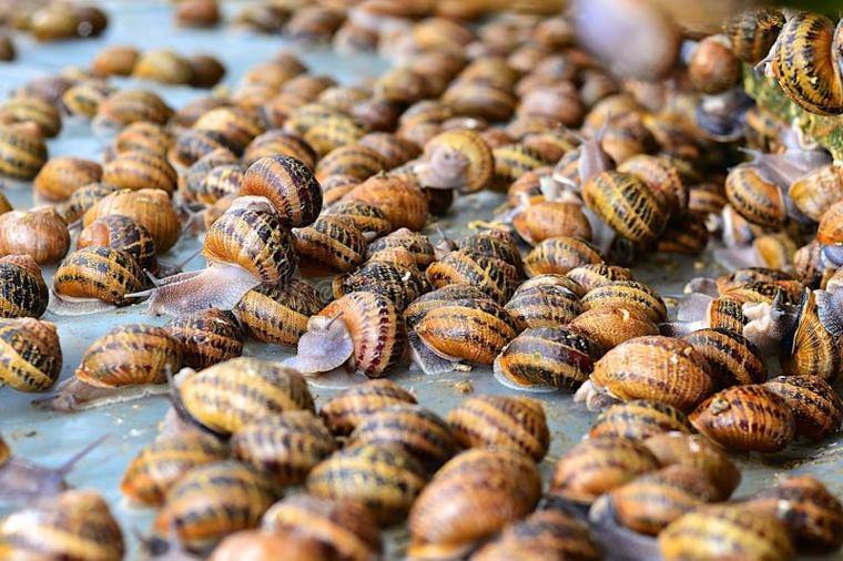 caracoles-cultivados-para-crema