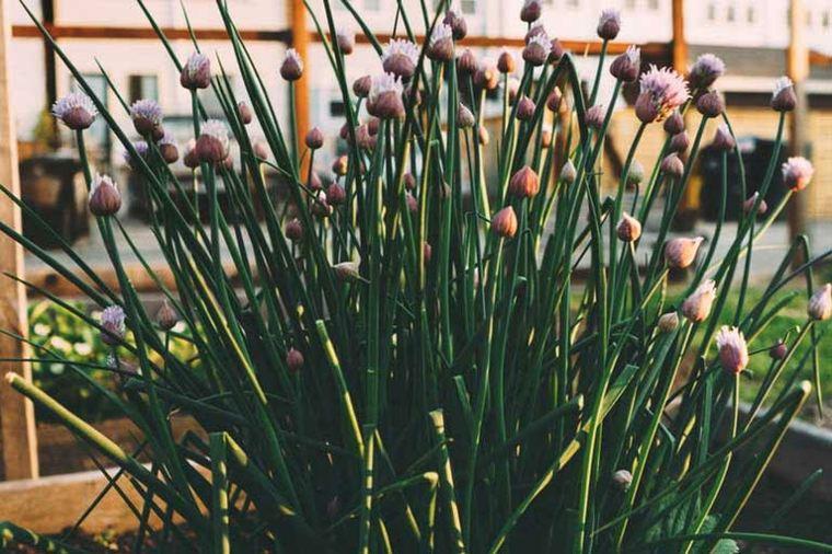 especies de plantas cebolletas