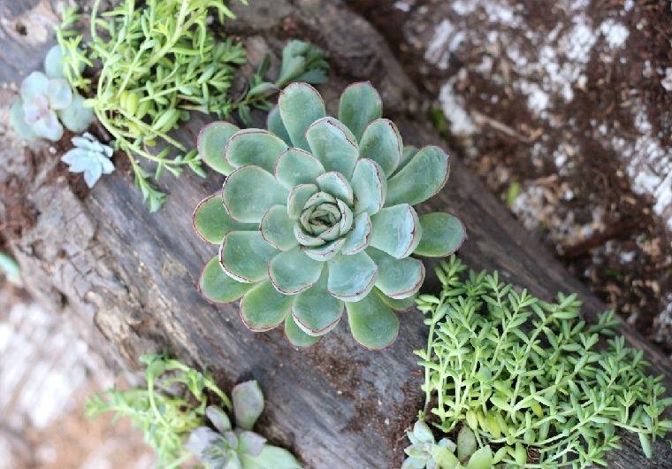 suculentas-plantas-madera-deriva-ideas