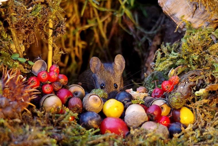 la-cosecha-del-ratón