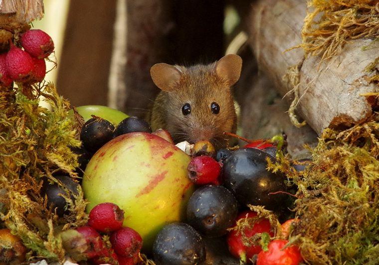 ratón-con-frutas