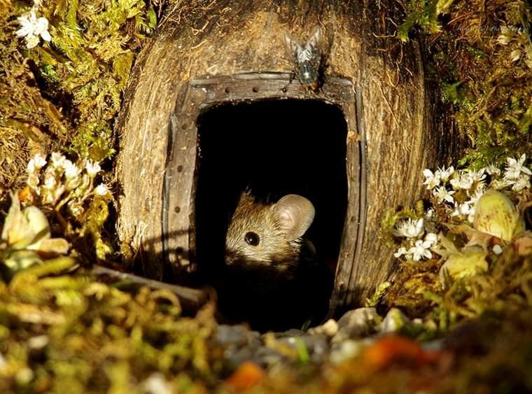 ratón-en-su-casa