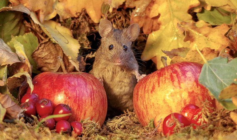 ratón-entre-manzanas