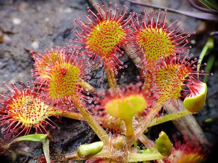 plantas-carnivolas-drosera-ideas