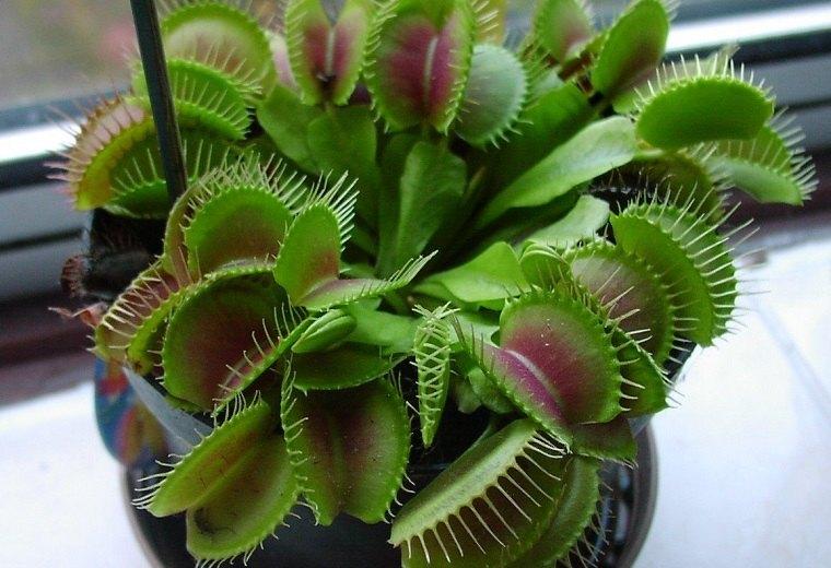 plantas-carnivolas-venus-atrapamoscas-ideas