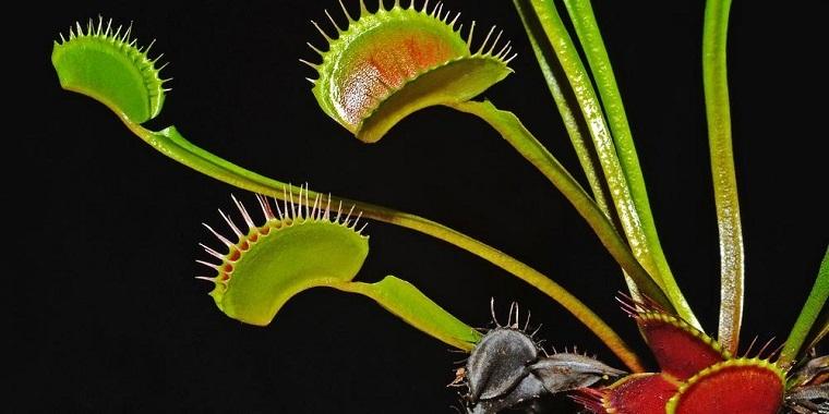 plantas-carnivolas-venus-atrapamoscas