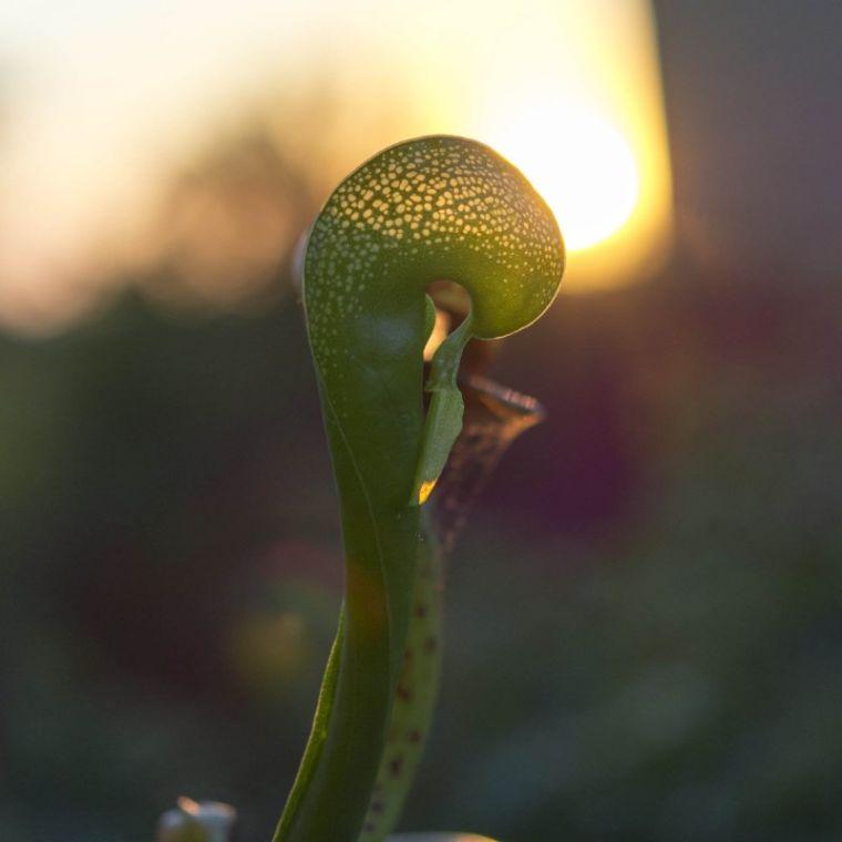 plantas-carnivoras-lirio-cobra-ideas