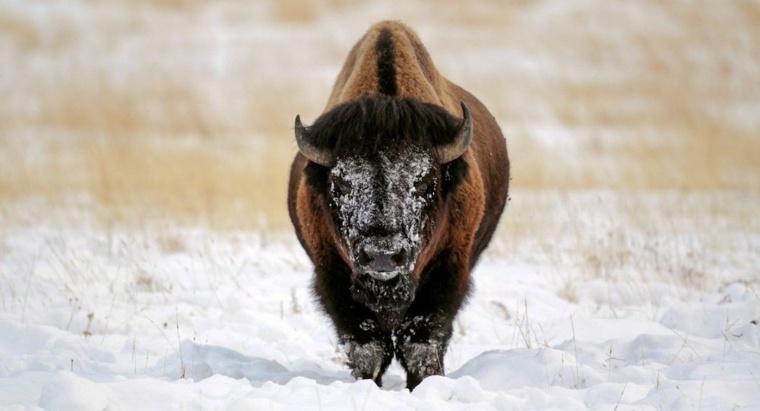 toro para luchas
