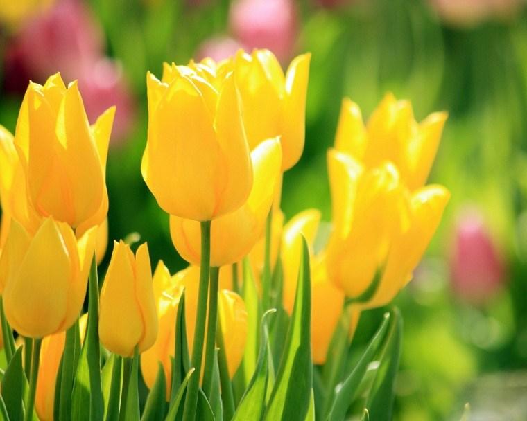 cómo plantar tulipanes-guia-amarillos-ideas