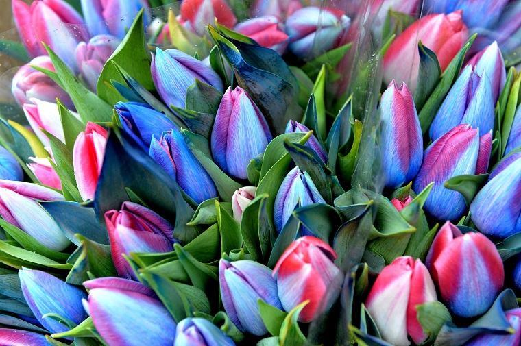 cómo plantar tulipanes-guia-azul-rosa