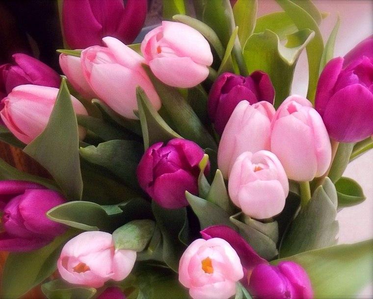como-plantar-tulipanes-guia-color-rosa