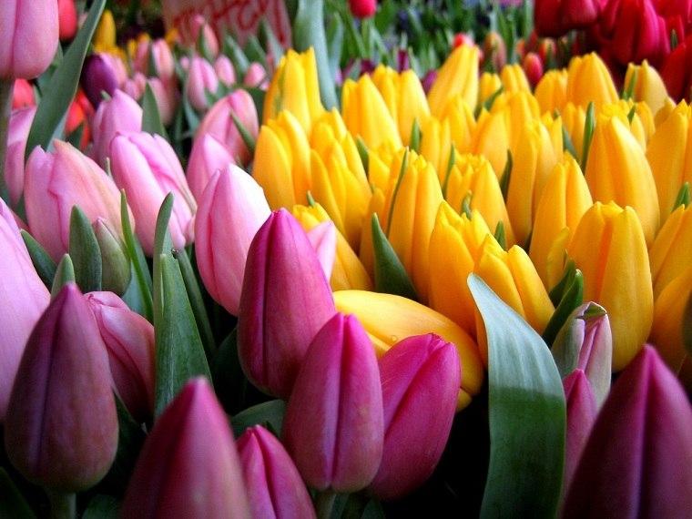 cómo plantar tulipanes-guia-colores