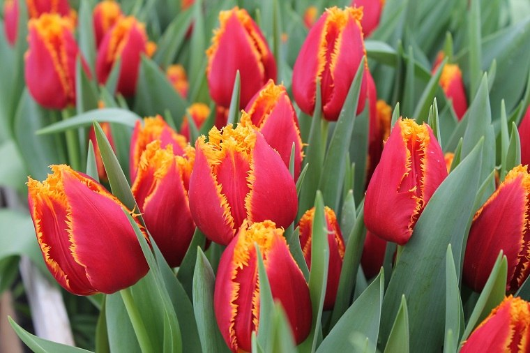 como-plantar-tulipanes-guia-rojos