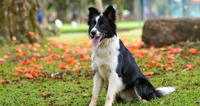 mejores-razas-correr-perros-Border-Collie