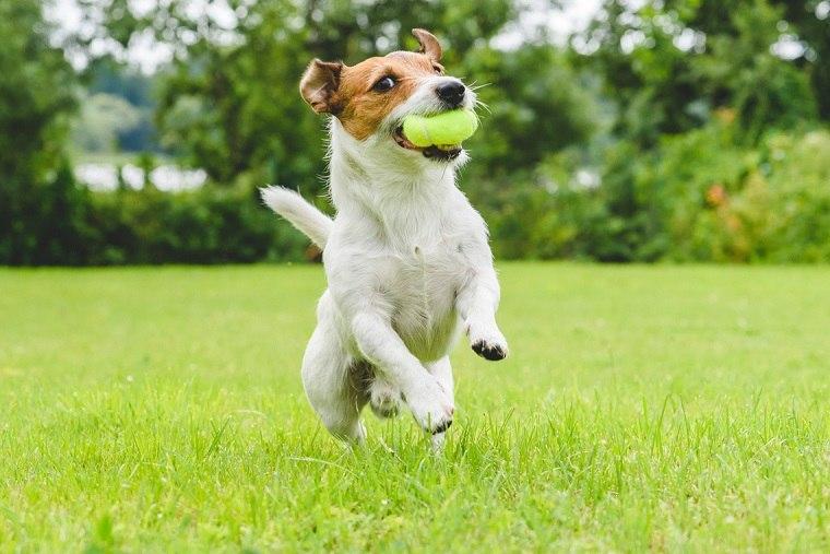 mejores-razas-correr-perros-Jack-Russells