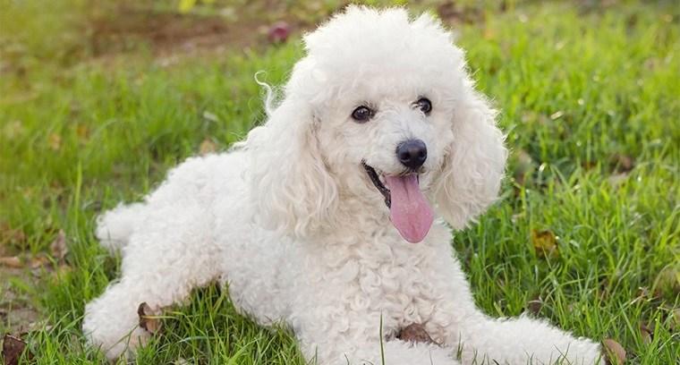 mejores-razas-correr-perros-caniche