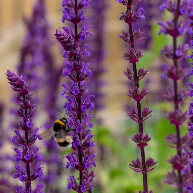 lavender garden plants
