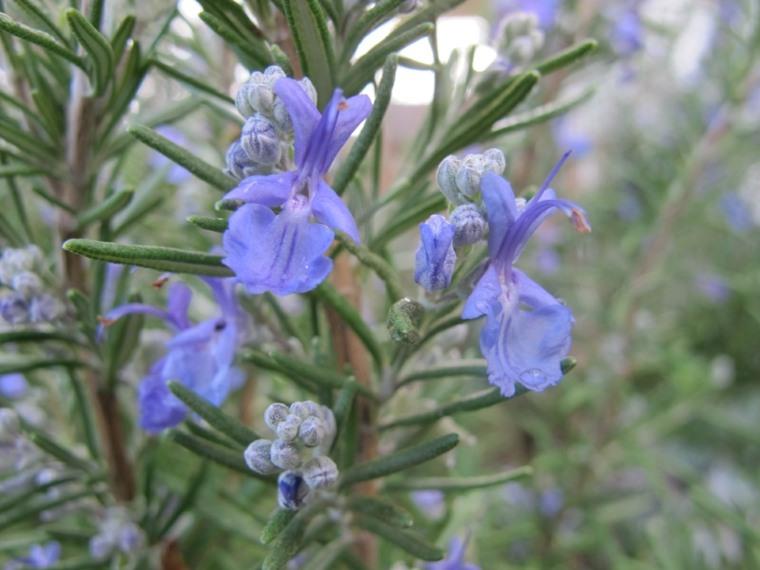 las flores del romero