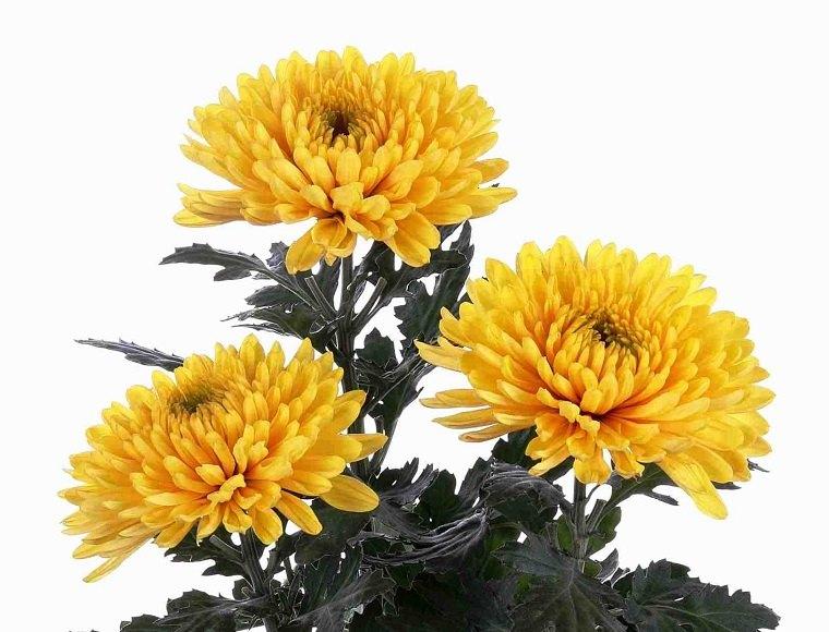 plantas-de-interior-alergias-Crisantemo-morifolium-ideas