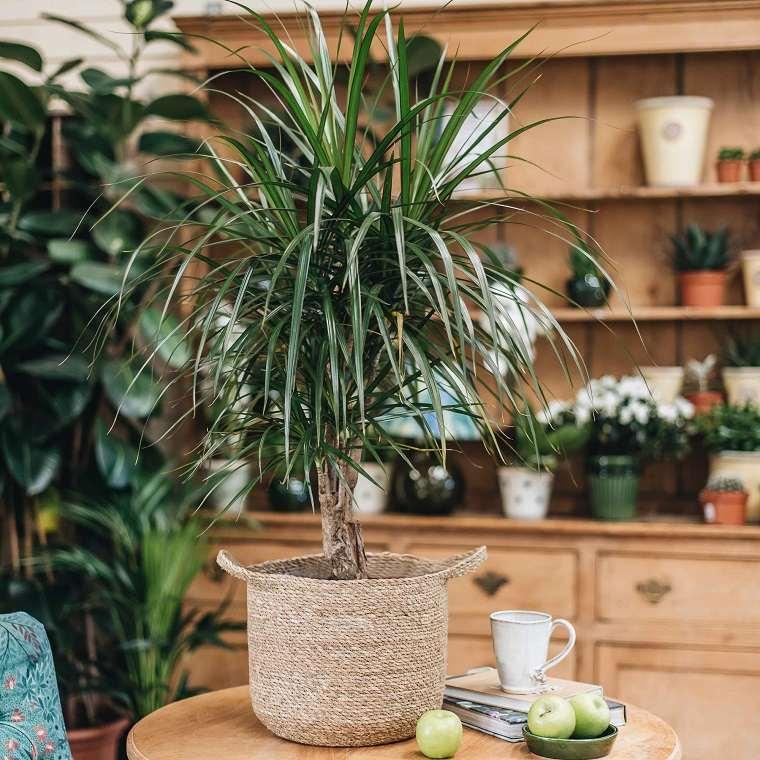plantas-de-interior-alergias-Dracaena-Reflexa