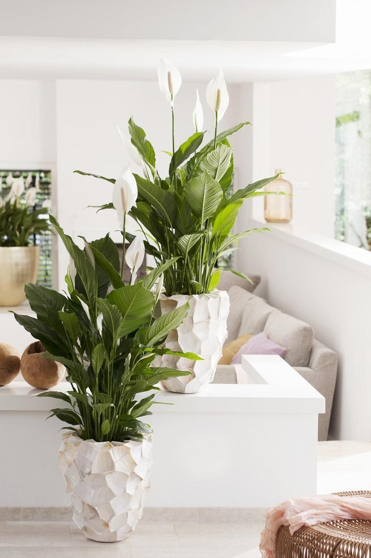 plantas de interior-alergias-lirios-de-la-paz-opciones