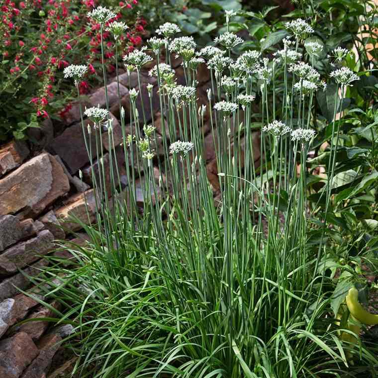 plantas repelentes ajo