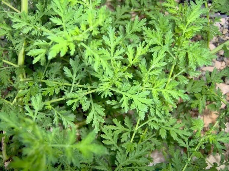 plantas repelentes de insectos ajenjo