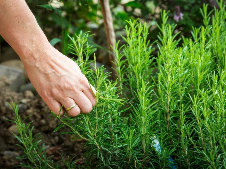 plantas repelentes romero
