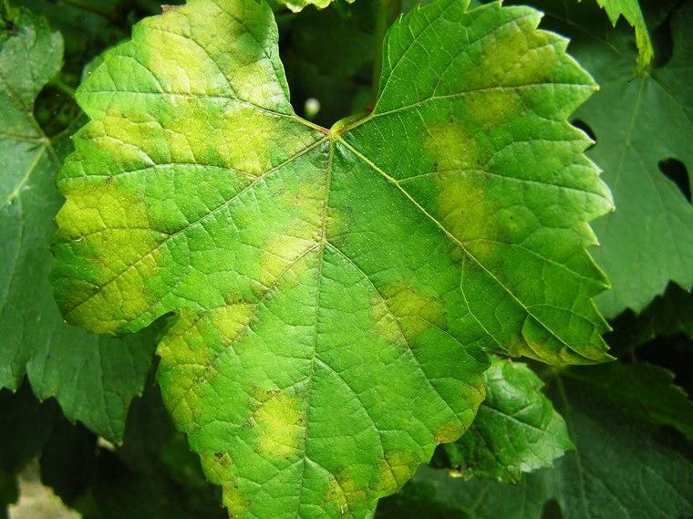 cafe para las plantas hojas (1)