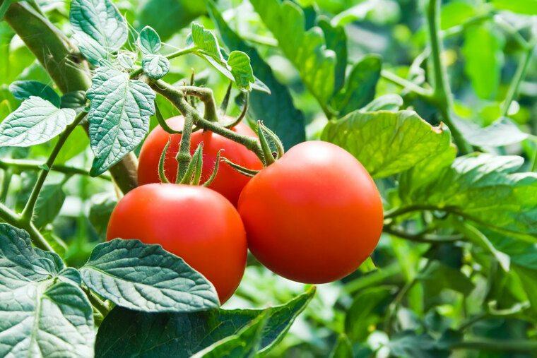 cafe para las plantas tomates