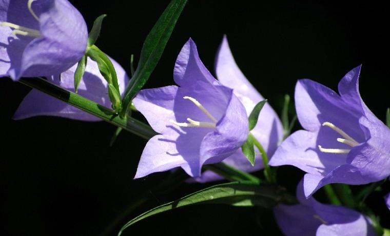 flores-de-verano-consejos-campanula