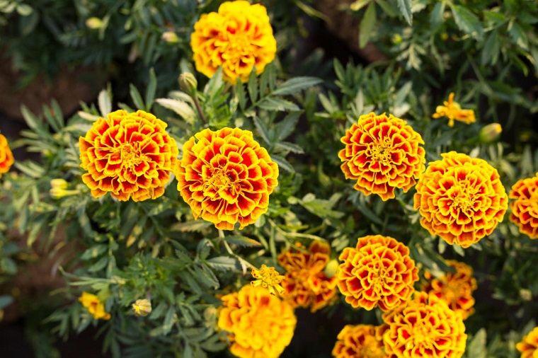flores de verano-consejos-clavelon