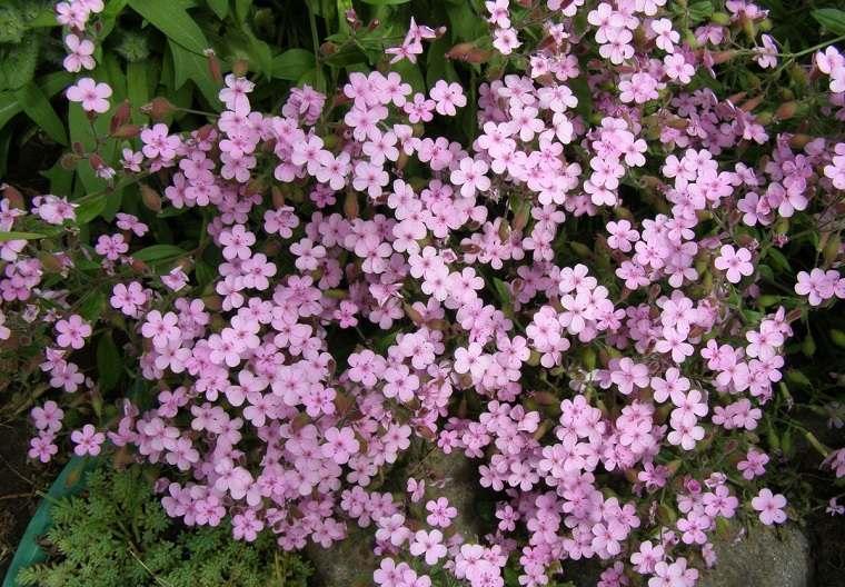 flores-de-verano-consejos-jabonaria