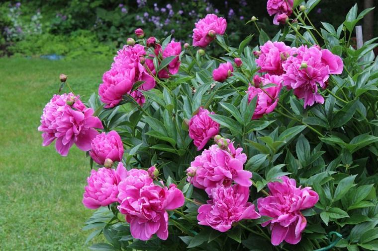 flores-de-verano-consejos-peonias