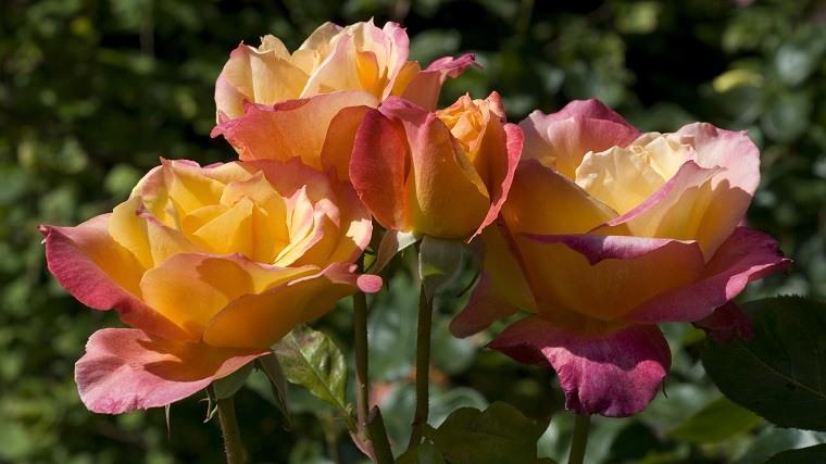 flores de verano-consejos-rosas-hibrido